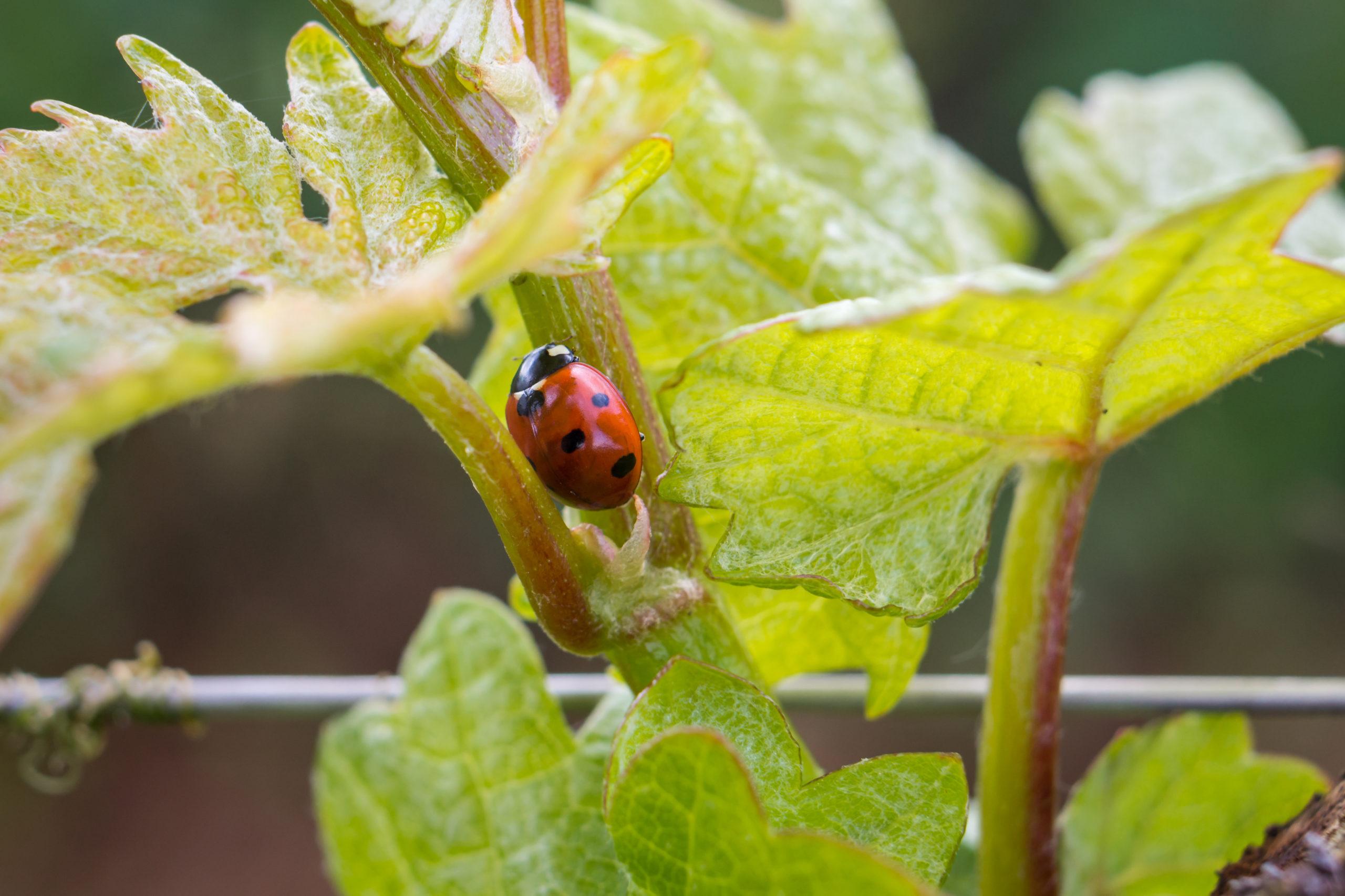coccinelle sur feuilles de vignes