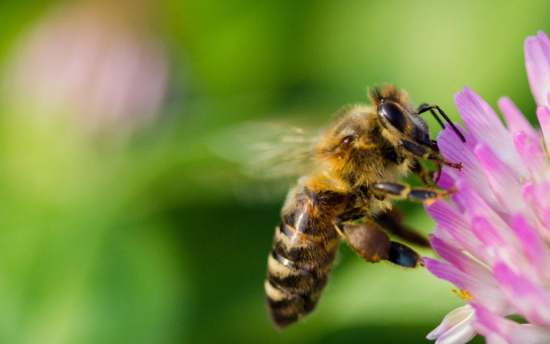 Pourquoi et comment protéger la ruche contre le varroa?