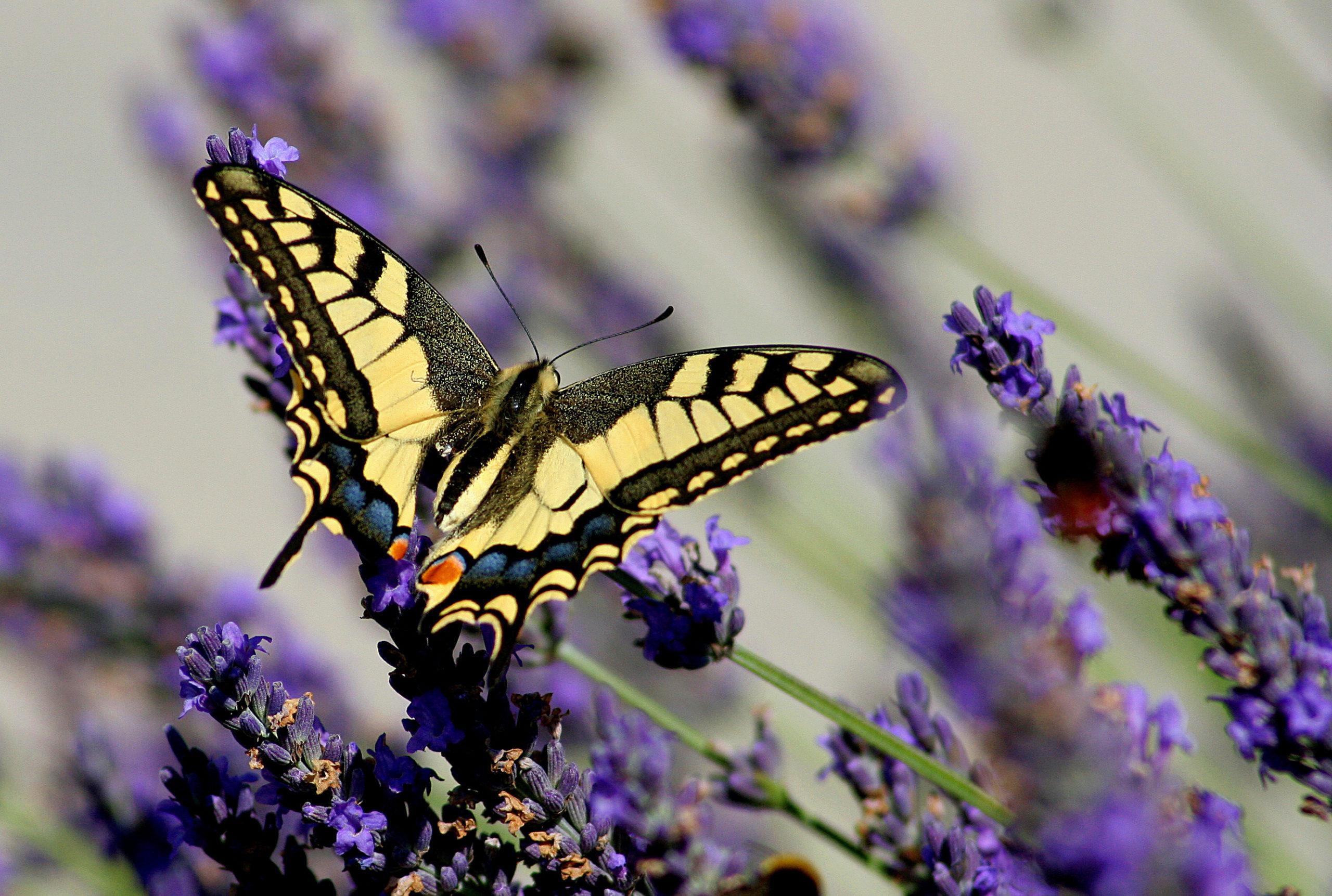 papillon qui vole de fleur en fleur
